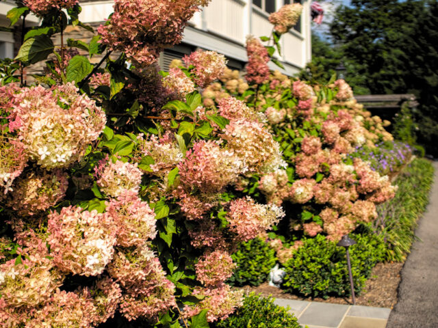 When to prune Hydrangea