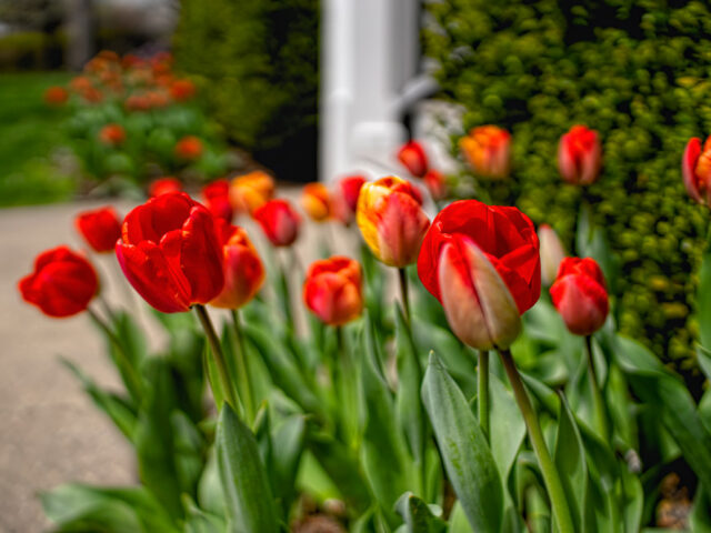 8 Reason why my spring bulbs aren't blooming: