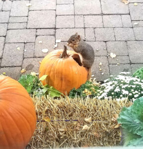 5 Ways to Prevent Aggressive Squirrels from Eating your Pumpkins